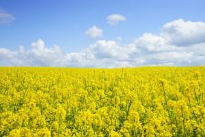 Das Öl von Rapsfeldern dient als Beimischung für den Bioanteil im Diesel.