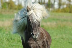 Die Island-Pferde sind auch typisch für Island.