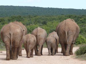 In Nationalparks können wilde Tiere wie Elefanten die Fahrbahn kreuzen. Gerade männliche Elefanten können dabei sehr aggressiv werden, so dass man stets den Sicherheitsabstand wahren sollte.