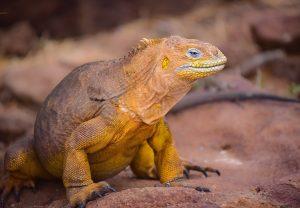 Leguane trifft man auf den Galapagos-Inseln an die zu Ecuador gehören.