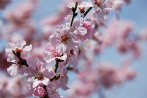 """Japan ist für seine japanische Kirschblüte, auf Englisch """"japanese cherry tree"""" bekannt."""
