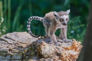 Lemuren gehören zur Gruppe der Feuchtnasenaffen, man nannte sie früher auch Halbaffen.